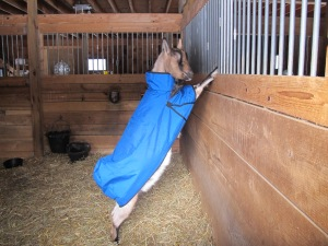 "Oh, ok. If I can still do my ""supergoat"" pose, this coat'll work!"