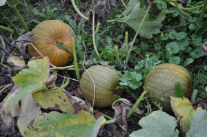 sept 21, winter luxury pumpkins doing great but not ripe yet!